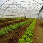 Plantación de lechugas en invernadero