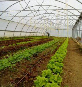 Invernadero cultivado con lechugas batavias y hoja de roble. Cultivo de Catasol