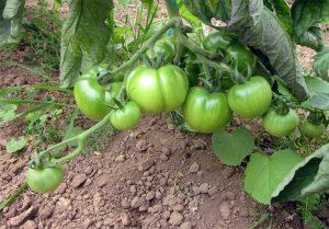 Tomates verdes de la variedad Robin, en una rama de la tomatera. Cultivo de verano en Catasol
