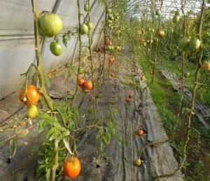 Invernadero entrado ya el otoño con aún plantas de tomates cogiendo color