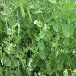 Plantación de guisantes arbeyos)