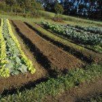 Campo cultivado