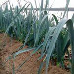Plantación de puerros